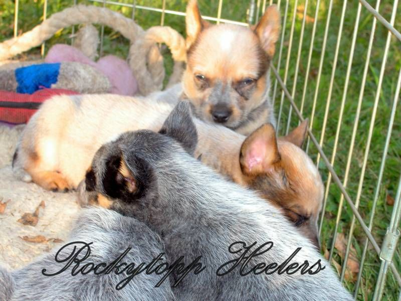 Rockytopp Heelers Lansing Iowa Heeler Puppies Pets Dog Breeds