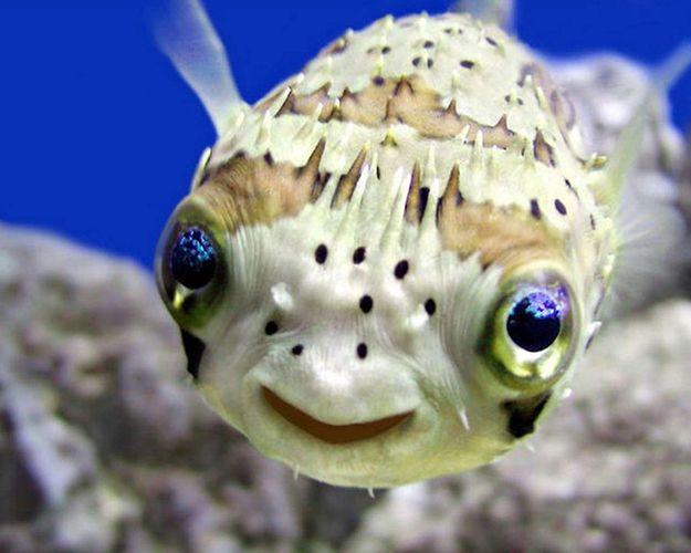 This Puffer Fish Smiling Animals Happy Animals Ocean Animals