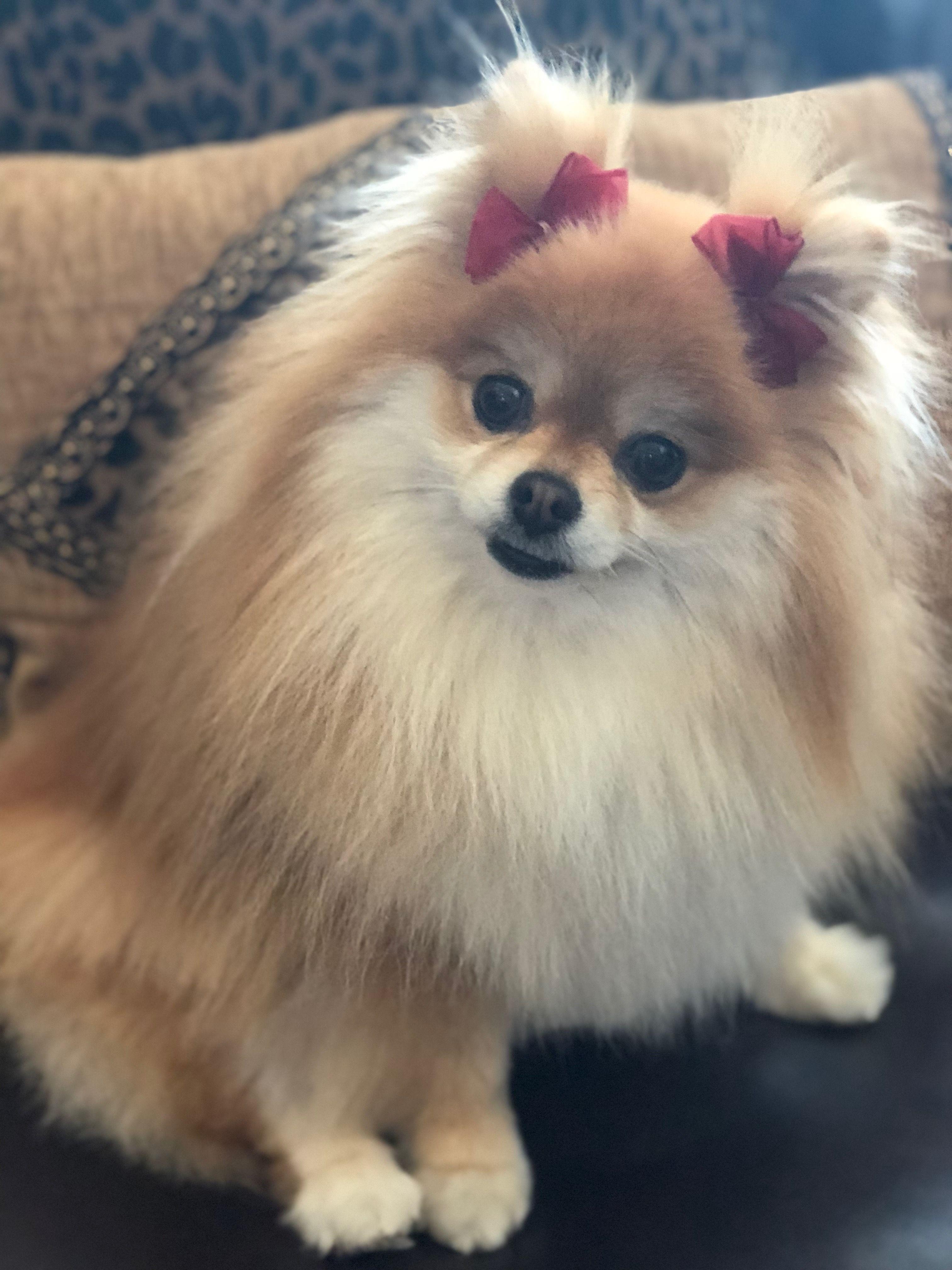Princess Peach Pomeranian Puppy Puppies Cute Animals