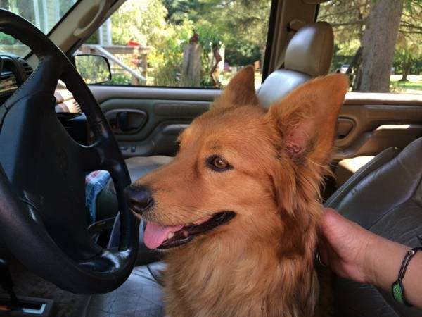 Albany Ny Community Lost Found Post Account 1 Favorites Reply X Prohibited Posted 4 Days Ago Prev Next Print Found Dogs Corgi Route 40