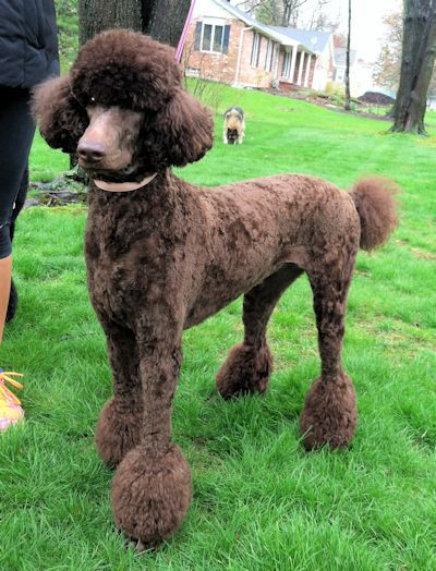 Pin By Esther Duiker Rijerse On Poodle Standards Poodle Puppy