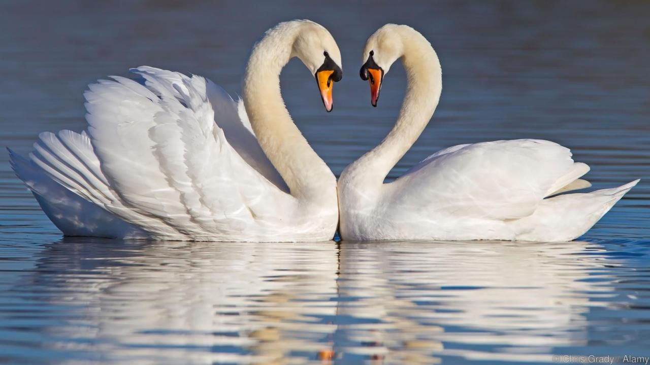 Courting mute swans, their necks making a heart shape. Awww (Credit: Chris