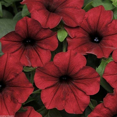Top 10 Climbing Plants For A Small Trellis Petunias Petunia Plant Wave Petunias