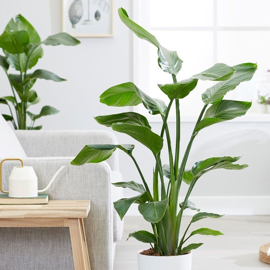 How To Grow A Bird Of Paradise Houseplant Pastel Dwelling Birds Of Paradise Plant Paradise Plant House Plants