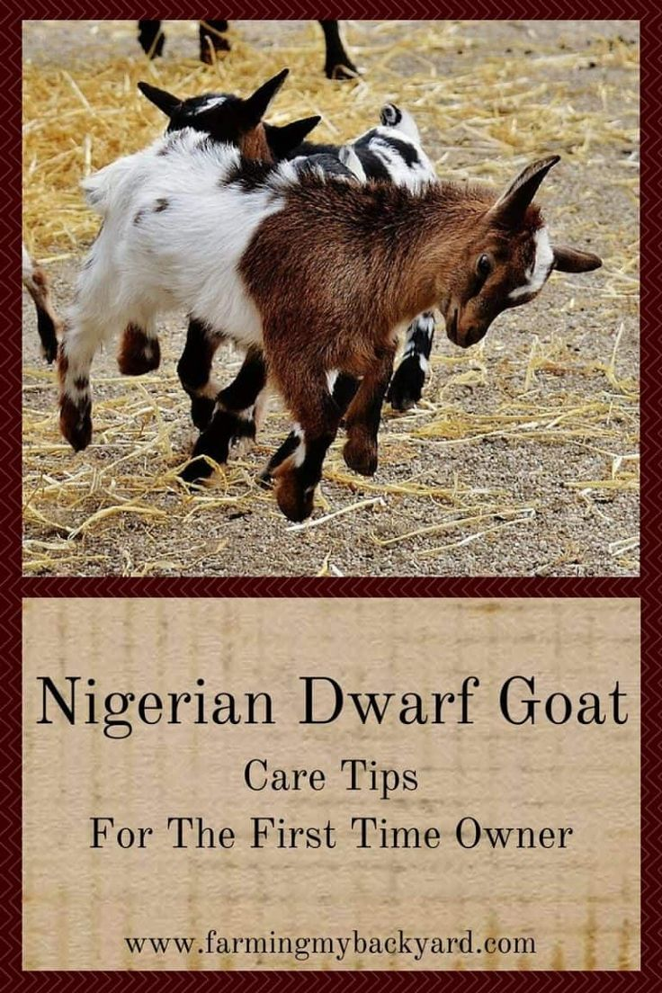 Nigerian Dwarf Goat Care Tips For The First Time Owner ...