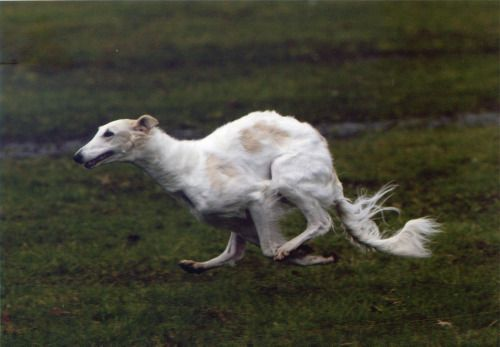 ❤ =^..^= ❤   Koira coursing
