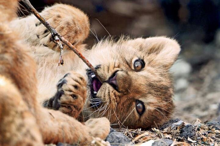 Asiatic lion cub