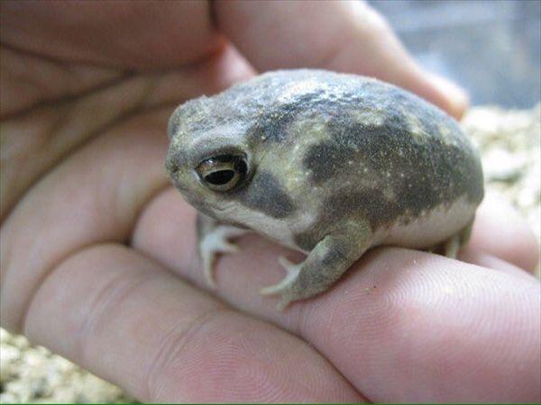 和名が きなこまぶしわらびもちがえる と盛り上がる アメフクラガエル が可愛い Cute Frogs Cute Baby Animals Baby Frog