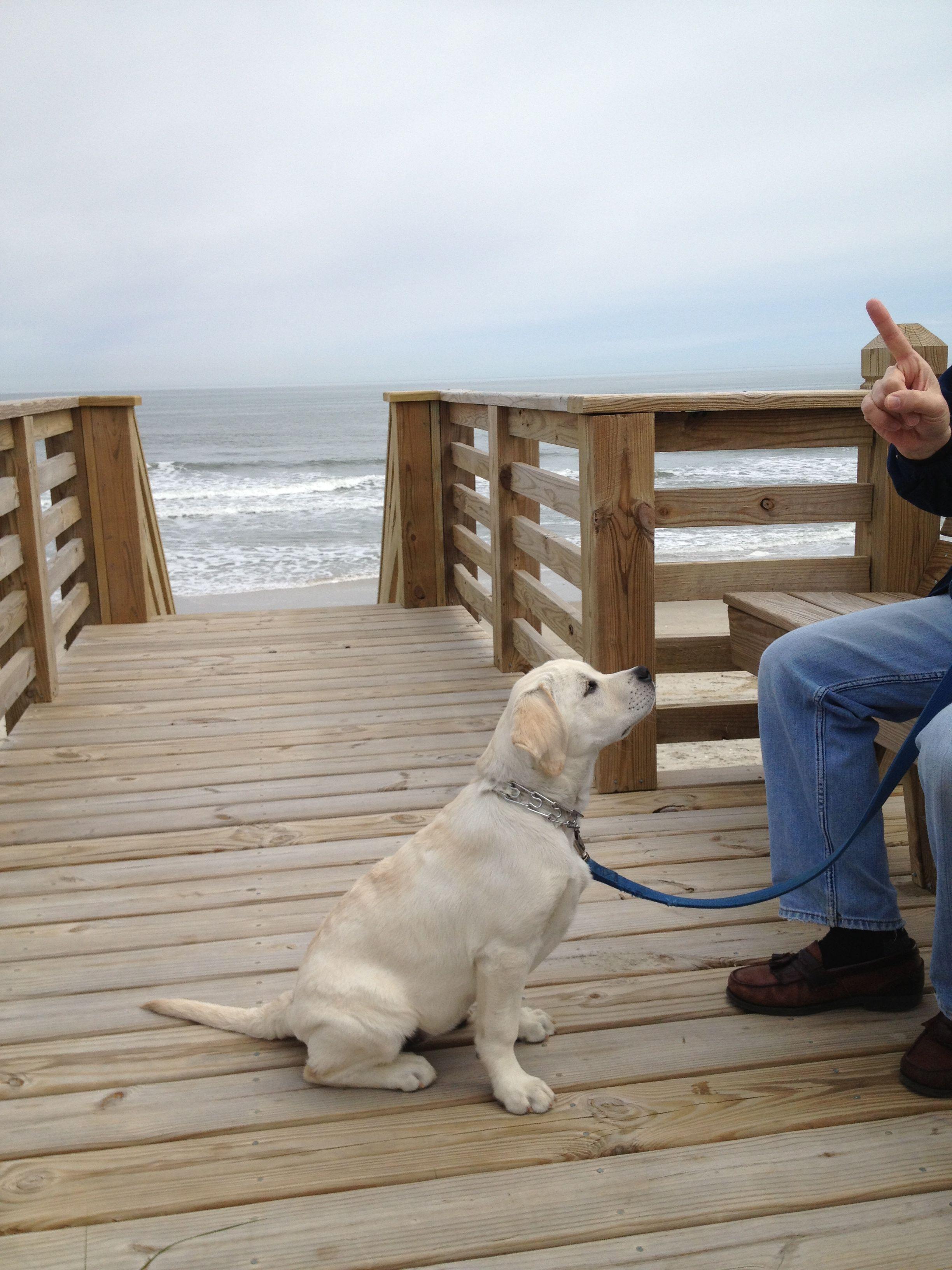Is There A Treat Somewhere Labrador Retriever Labrador Dogs