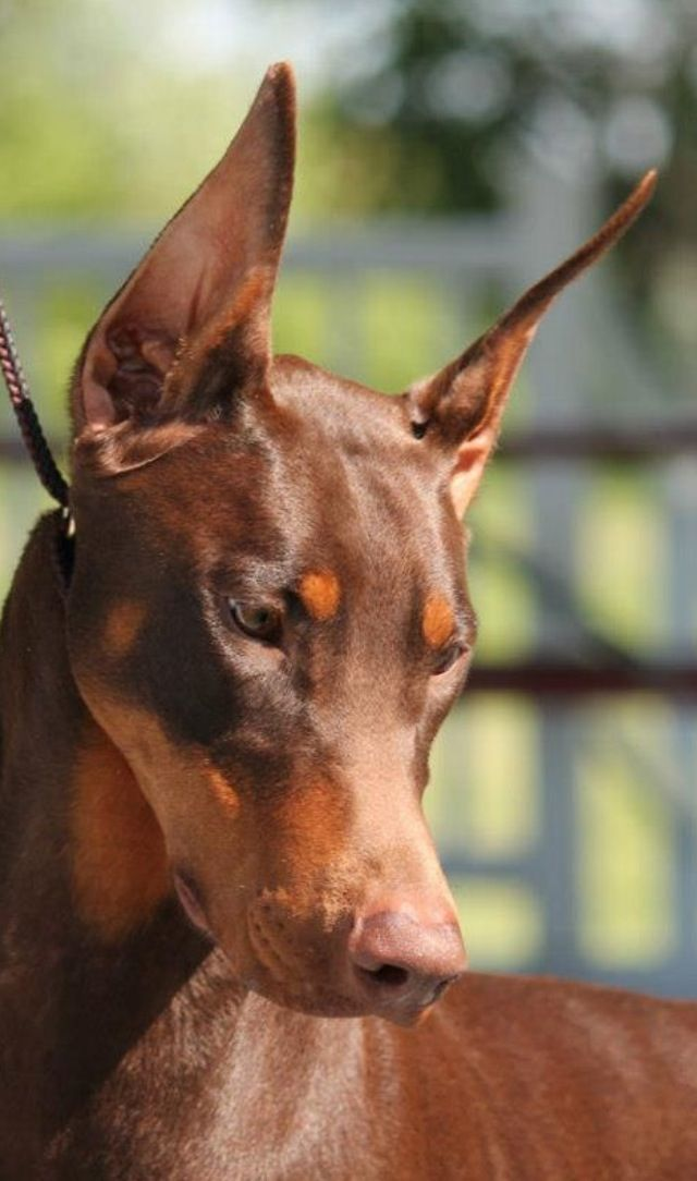 Raindance Armed And Extremely Delicious Doberman Pinscher Dog