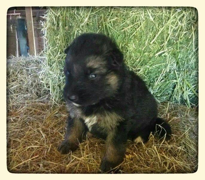 Black And Tan Plush Coat German Shepherd Www Christiansguardianshepherds Com Deutsch Schaferhunde Schaferhunde Und Hunde