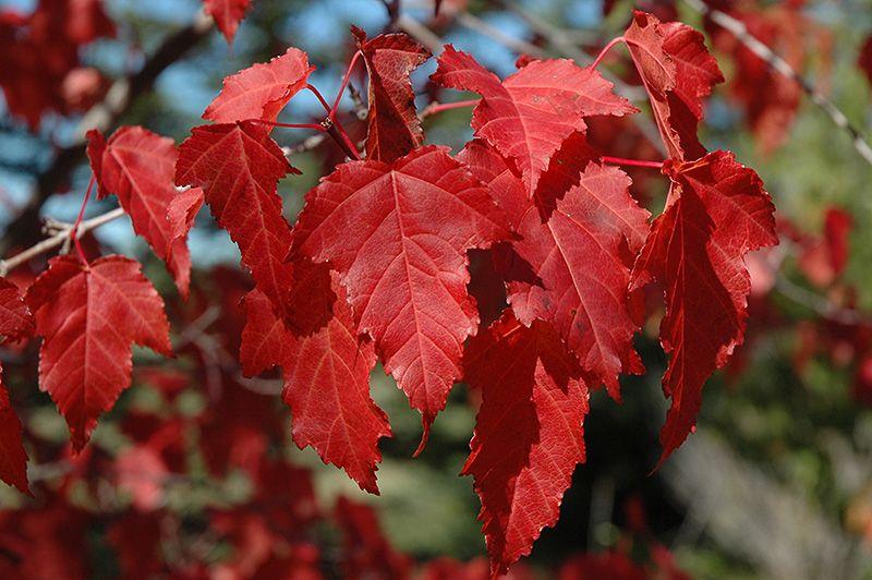 Amur Flame Maple Tree 2 Gallon Growers Solution In 2021 Amur Maple Plants Garden Center