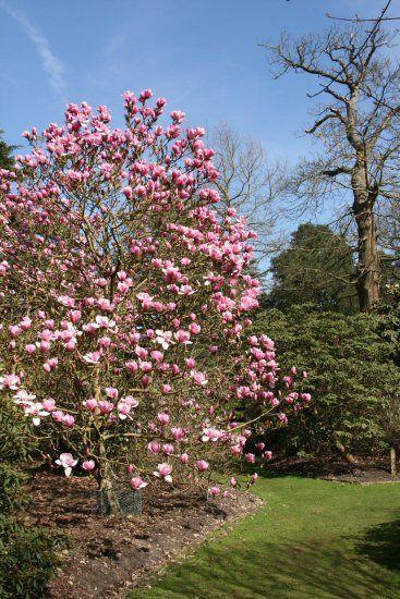 Magnolia Tree Valley Gardens Virginia Water Surrey English