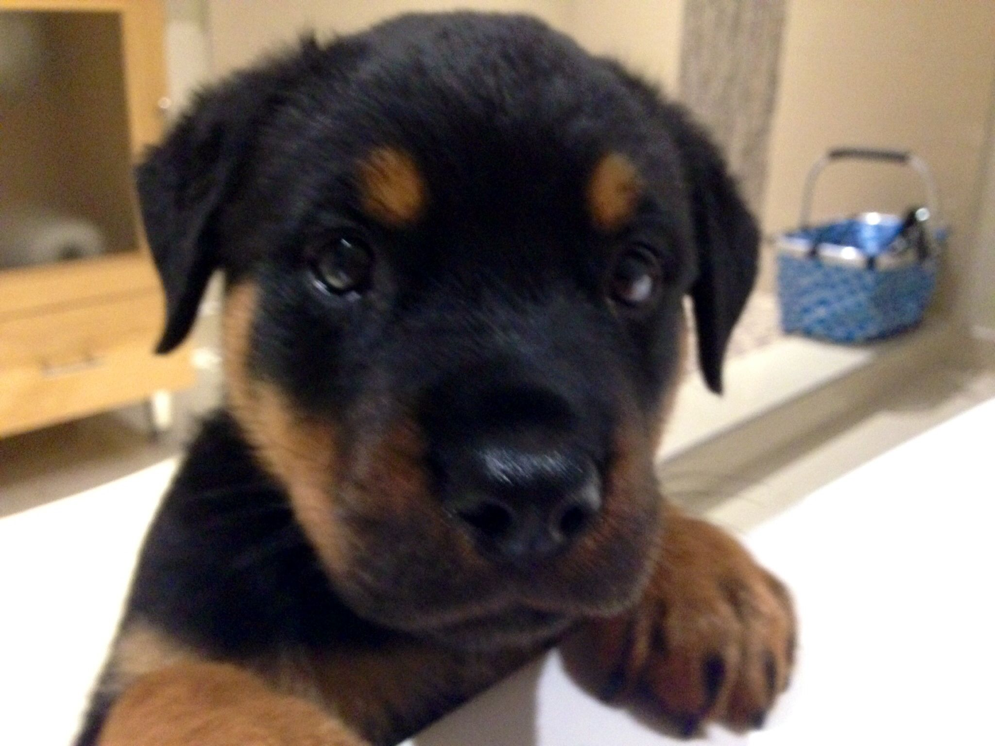 Rottweiler Puppy  6 Weeks  Bentley