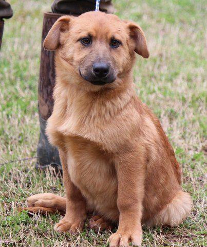 This cutie needs a home. Shepherd / Basset Hound / Mixed