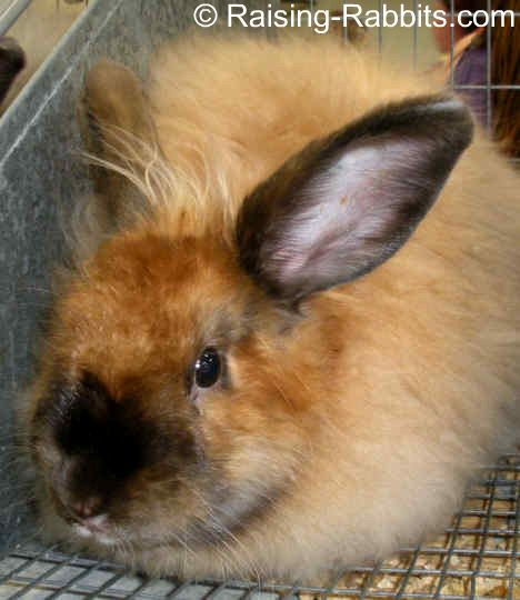Satin Angora Rabbits Description Grooming Care Shiny Angora Wool Angora Bunny Angora Rabbit Satin Angora