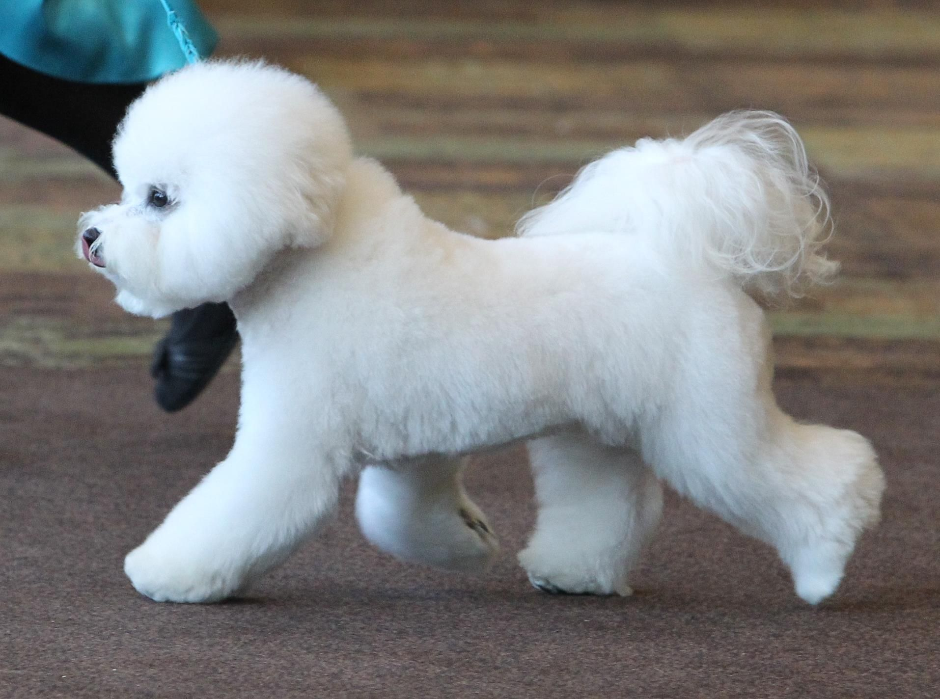 Bichon Frise In the Show Ring Bichon Frisé Pinterest