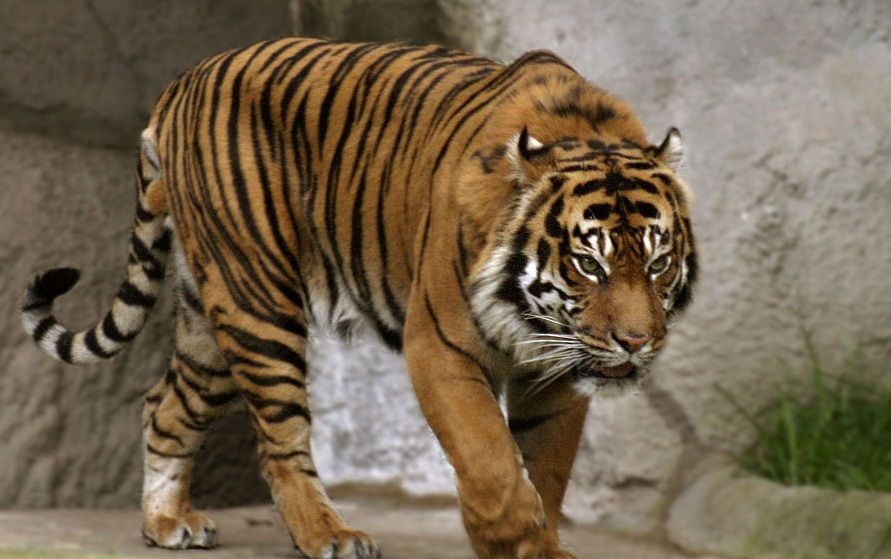 Picture Of A Bali Tiger Google Search Pet Tiger Tiger