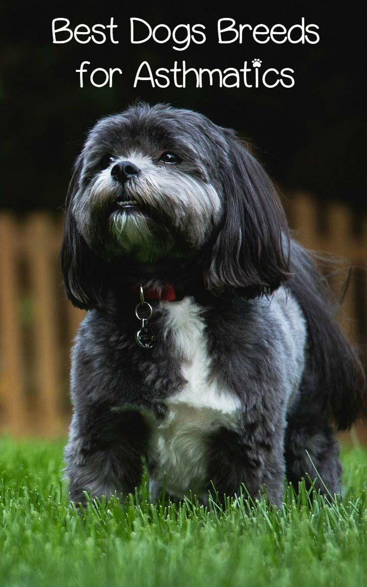 bestdogsbreedsforasthmatics Hypoallergenic dog breed