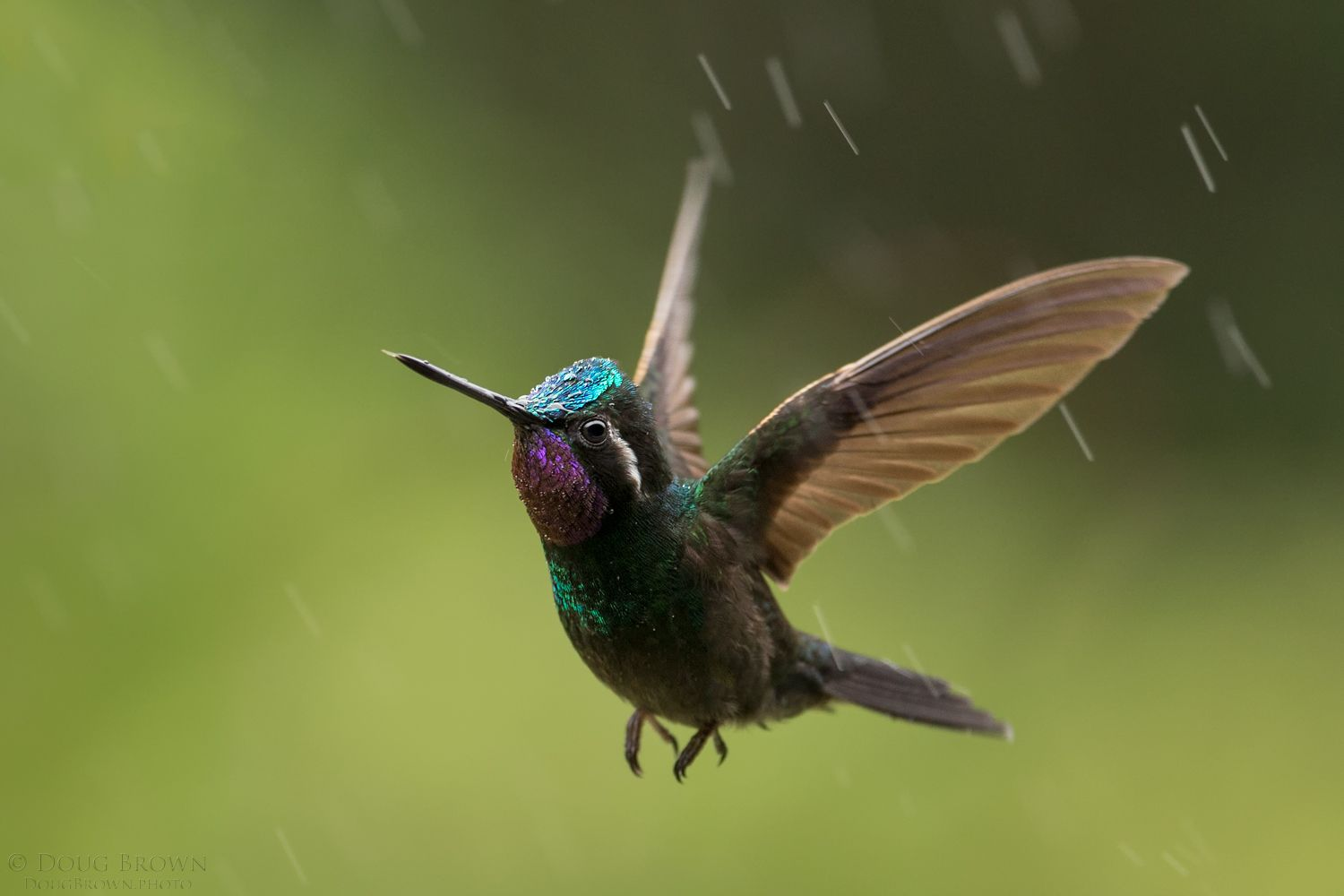 Doug Took This Cool Shot Of A Purple Throated Mountain Gem Hummingbird In The Rain During Our 2016 Costa Rica Workshop He Used The Sigma 150 600