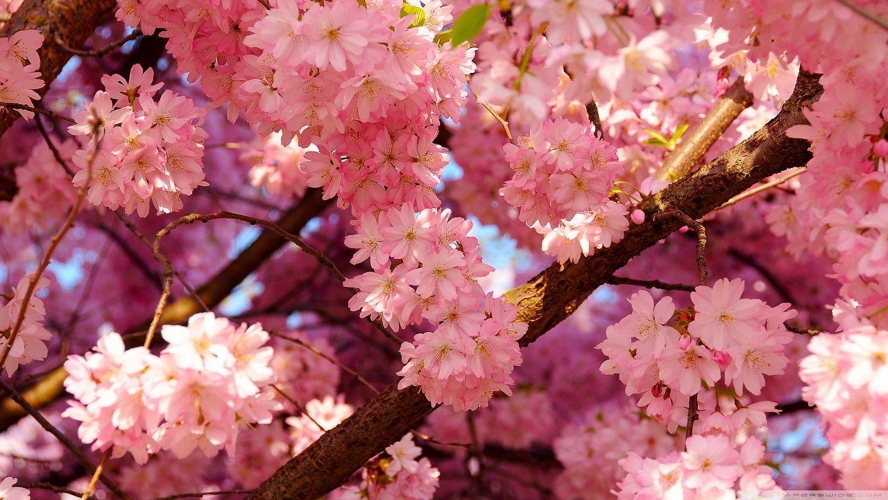 Pink Cherry Blossom Wallpaper Hd Bunga Sakura Wallpaper Bunga Bunga Tulip