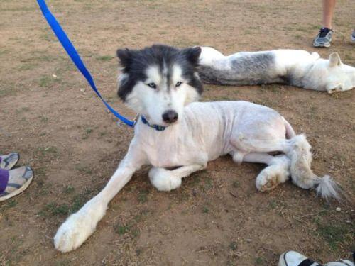 Worst Dog Haircuts Ever Poodle Haircut Dog Grooming Dog Haircuts