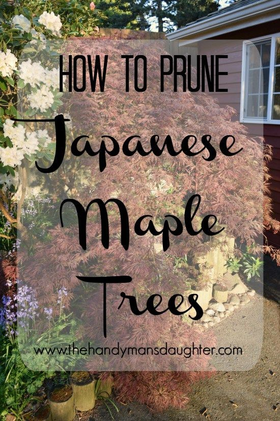 How to Prune Japanese Maple Trees