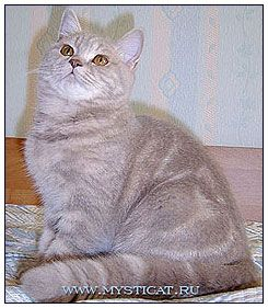 British Shorthair Cat Lilac Classic Tabby Cattery British Shorthair Cats