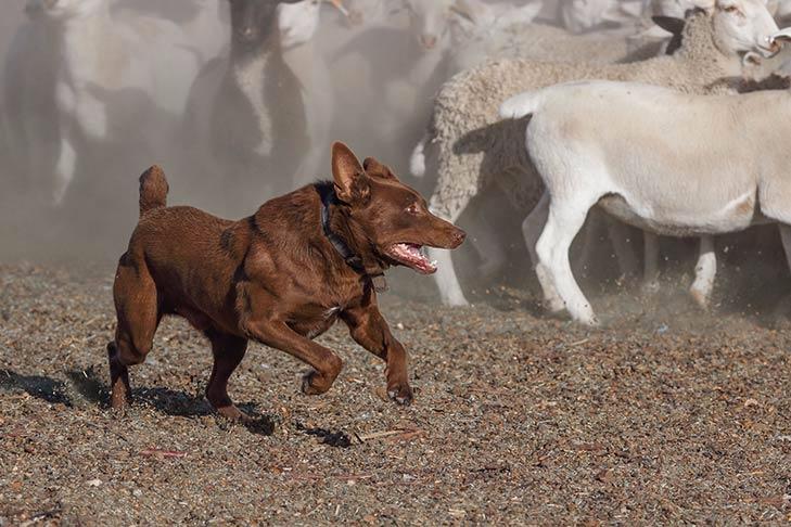 Australian Kelpie Dog Breed Information - American Kennel