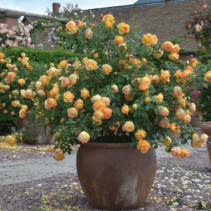 Clementine Botanical Art // Blushing Bride Protea