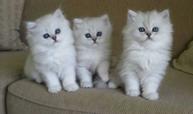 Longhair Burmilla Tiffanie Male Female Kittens Cats Kittens Pets Please Burmilla Burmilla Cat Asian Cat