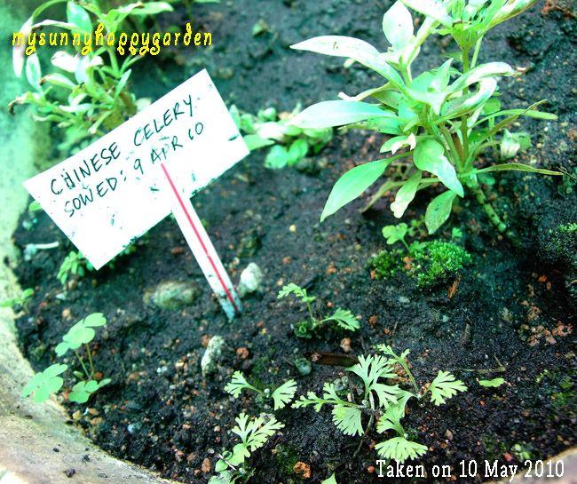 My Sunny Happy Garden: Growing Chinese Celery | gardening ...