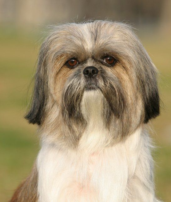 10 Cool Facts About Shih Tzus Dogs Tips Advice Momme
