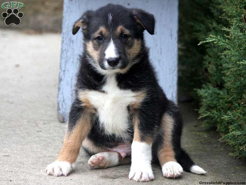 Darby Siberian Husky Puppy For Sale In Ohio Husky Puppy