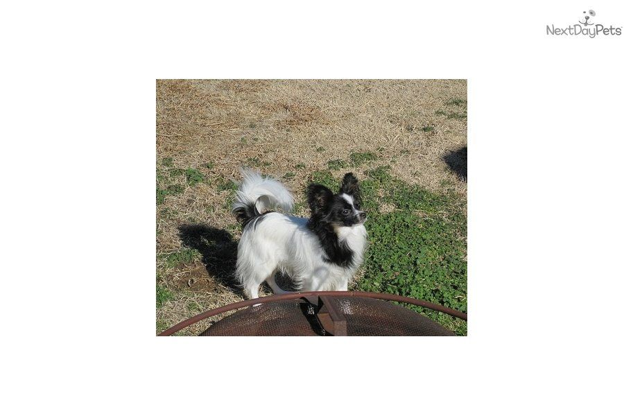 You'll love this Male Papillon puppy looking for a new home.