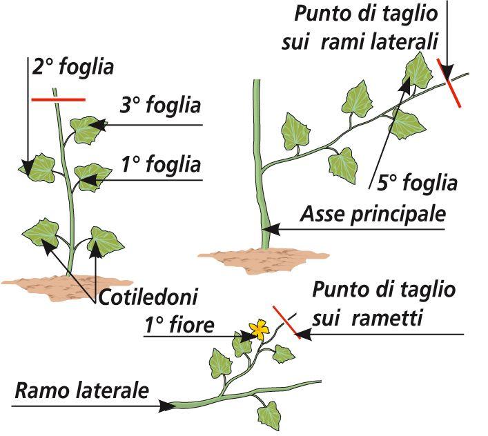 I cetrioli entro giugno si seminano nell'orto Orto