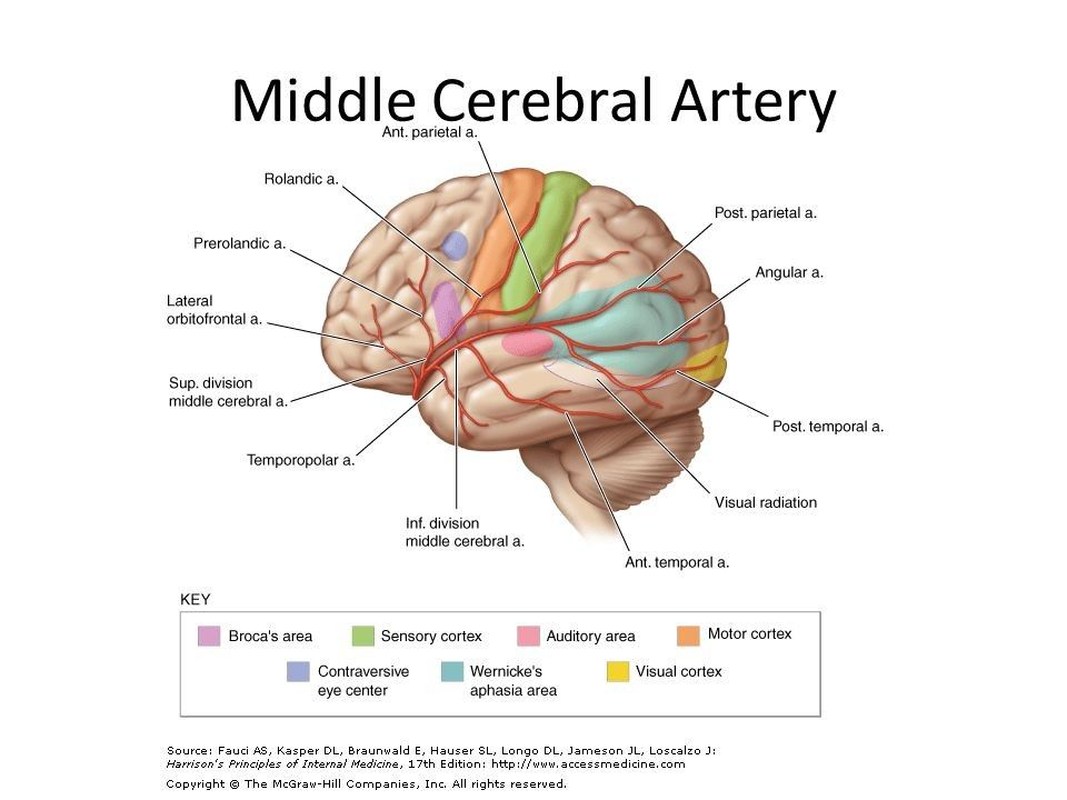 Middle Cerebral Artery Middle Cerebral Artery