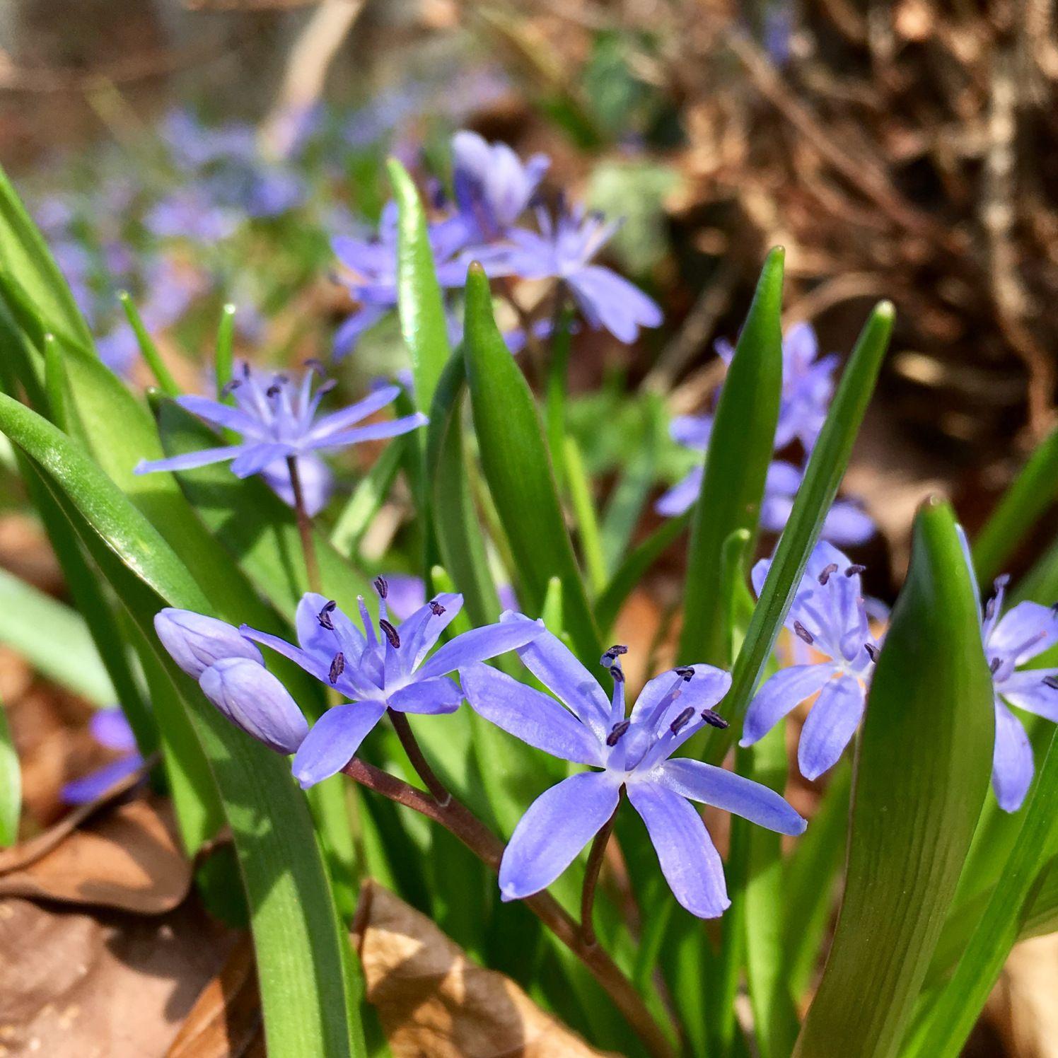 Dieser Blaustern ist eine besondere Pflanze im Frühlingsgarten