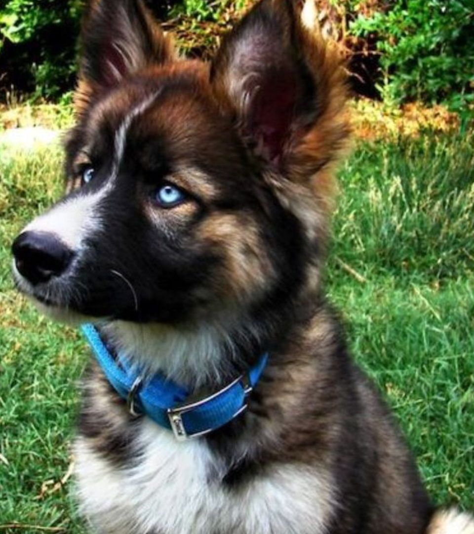 Look At This German Shepherd Brittany Mixes Blue Eyes Puppies