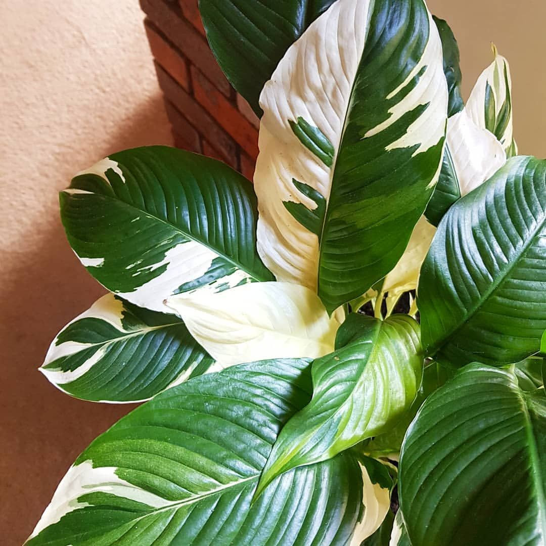 Spathiphyllum Wallisii Spathiphyllum Wallisii Picasso Will Always Be A Favourite Of