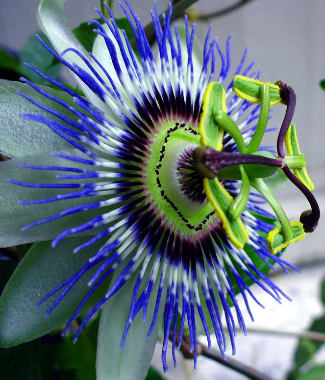 Passion Vine Flower I Used To Have These At My House Growing Up And In Montana Beautiful Flowers Pictures Passion Flower Passion Vine