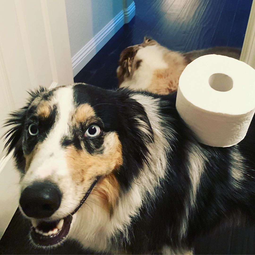 Gave My Velcro Bathroom Buddy A Job Aussies Live Having A Job Bathroombuddies Mypawpals Aussiesdoingthings Socalsogs Mur With Images Dogs With Jobs Aussie Shepherd