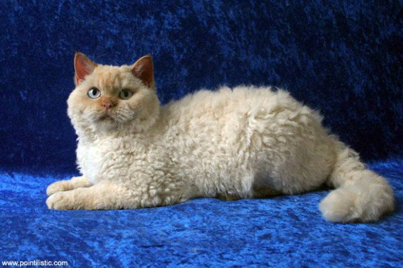 Curly Haired Selkirk Rex Cats Shown To Be Genetically Distinct
