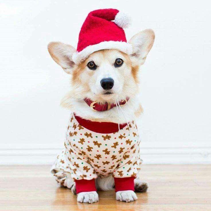 Beautiful Christmas Corgi Corgi Christmas Christmas Dog Corgi Dog