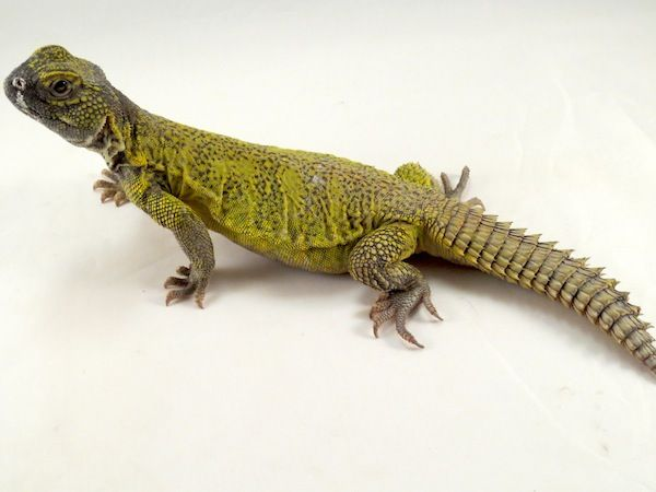 Uros Are Fun Pets And Vegetarians Too Check Out Our Caresheet On Uromastyx Lizards Uromastyx Uromastyx Lizard Pet Lizards