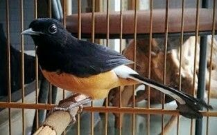 Hobi Burung Cara Perawatan Murai Batu Agar Gacor Sepanjang Har Murai Hewan Hewan Peliharaan