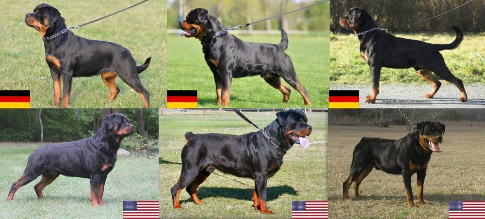 The Rottweiler A Patient Family Dog And Gentle Giant Just Don T