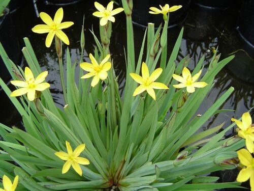 Dwarf yellow iris sisyrinchium pond marginal bog plant for Pond grass plants
