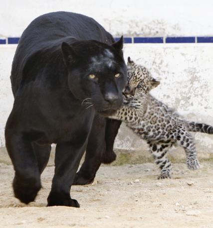 La Pantera Nera Lolo Che Gioca Con Il Suo Nuovo Piccolo Allo Zoo Di Yaduda In Giordania Pantera Nera Animali E Animali Da Compagnia Animali Selvatici