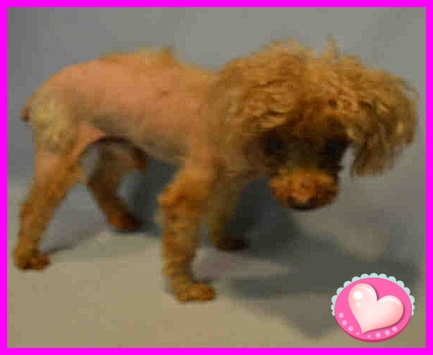 SAFE 11-8-2016 by Next Stop Forever  --- SUPER URGENT 11/04/16 Brooklyn center Q – A1095849  MALE, BROWN, POODLE MIN MIX, 11 yrs OWNER SUR – EVALUATE, NO HOLD Reason MOVE2PRIVA Intake condition ILLNESS Intake Date 11/04/2016  http://nycdogs.urgentpodr.org/q-a1095849/